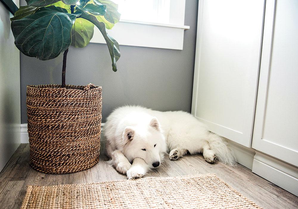 Sleeping Samoyed by Sisal Rug
